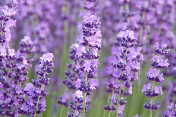 Vaj kurativ lavender hemani